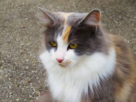 le chat maine coon by libellule64wazka