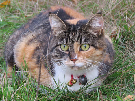 Kaczuchowa kotka