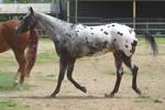 Horse_Stock0076