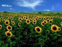 Sunflowers II by rahimyts