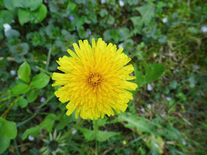 The nature's of sun, dandelion