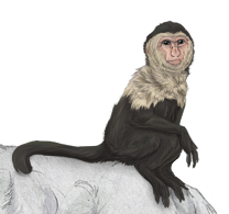 Capuchin monkey by CordisaWire