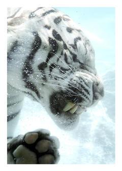 White Tiger by sergey1984