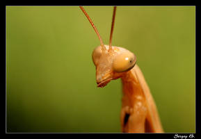 Portrait Mantis religiosa by sergey1984