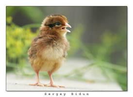 Chicken by sergey1984
