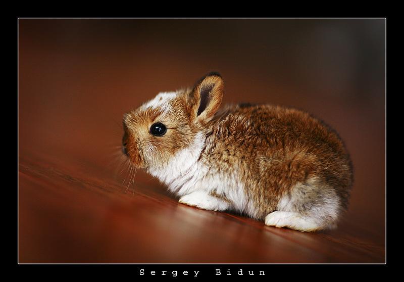 Little Redish Bunny. by sergey1984
