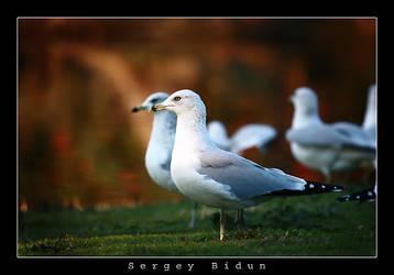 Seagulls by sergey1984