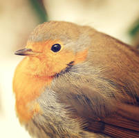 robin by Squirrelondope