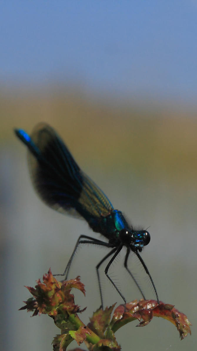 Banded Demoiselle by K-A-Varley