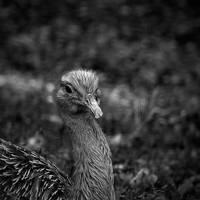 Lesser Rhea by FlippinPhil