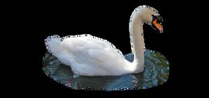 Swan png by kclemas
