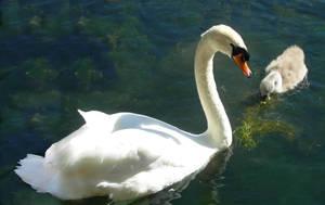 Swan +  Cygnet by kclemas
