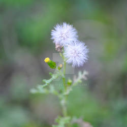 Little couple of dandelion...