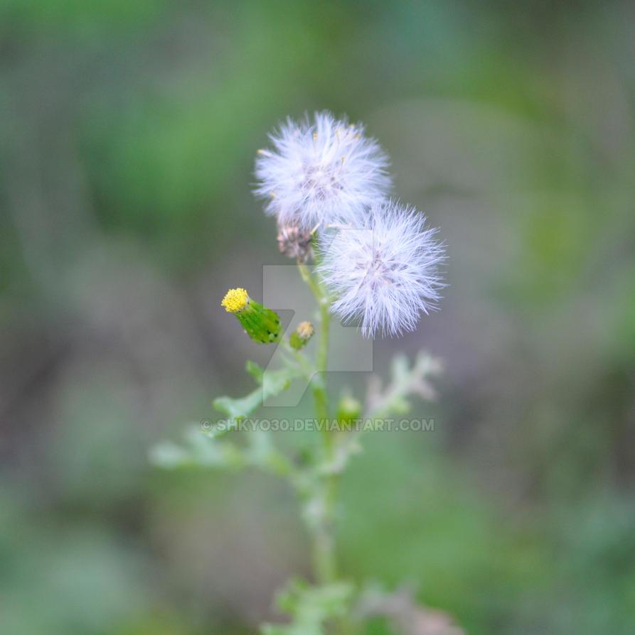 Little couple of dandelion... by shkyo30