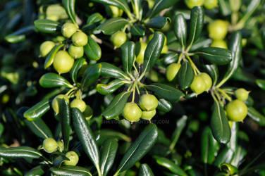 Shiny foliage with green balls