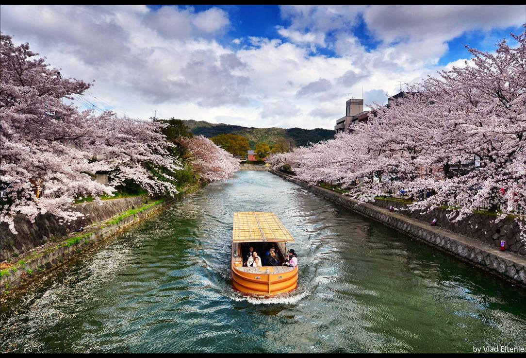 Sakura by veftenie