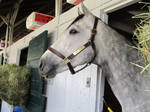 Thoroughbred Stock by Eventing-Stock