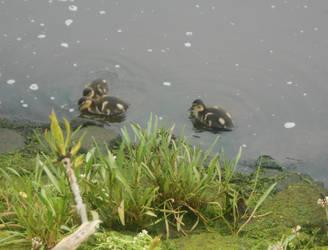 Baby ducks by Keresaspa