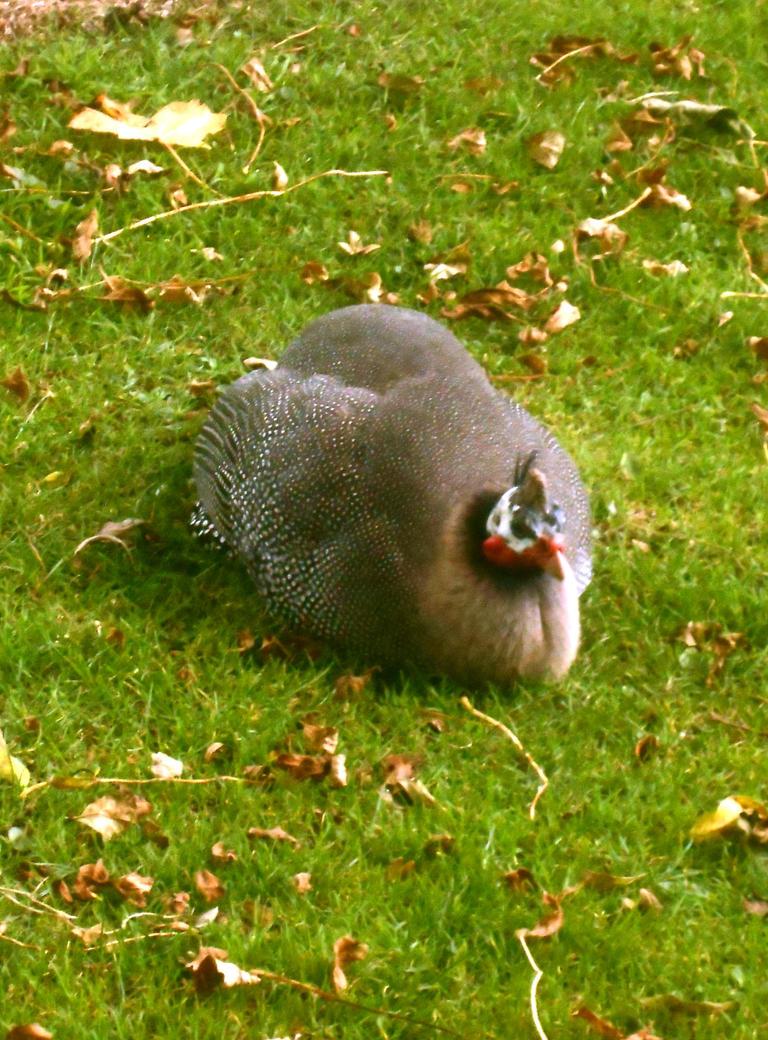 Guinea fowl nesting by Keresaspa