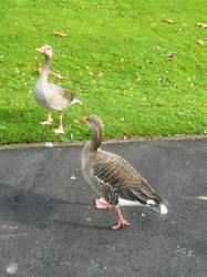 York geese 1 by Keresaspa