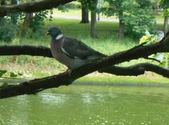 Woodpigeon by Keresaspa