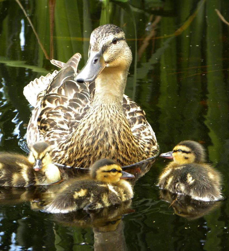 Mama Duck by dareiqsan