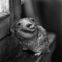 Hamster III by StacyD