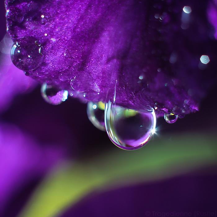 Gladiolus by StacyD