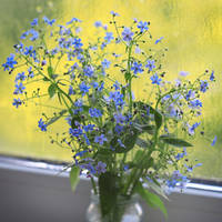 [Forget-me-not]