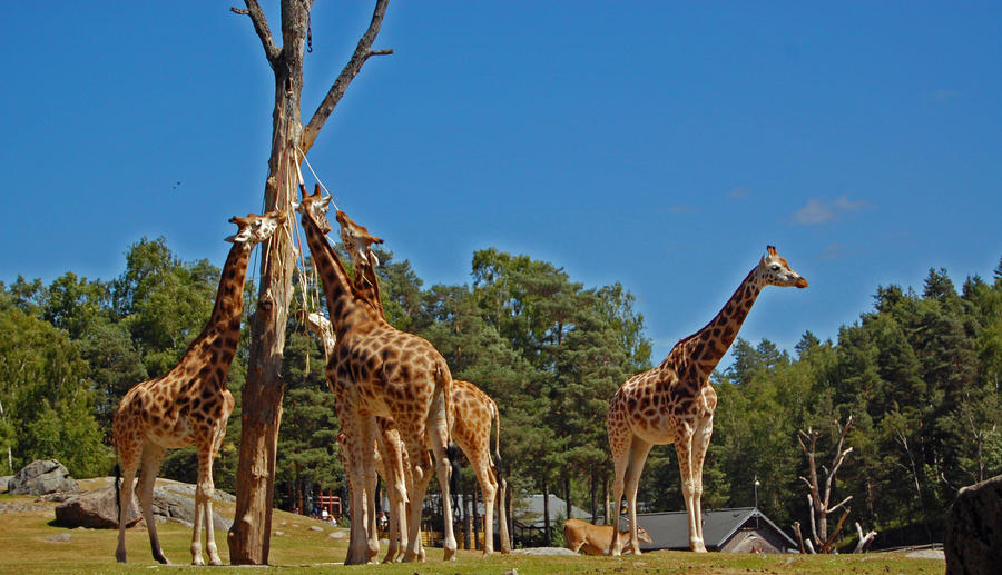 Wild Animals Giraffes wallpaper