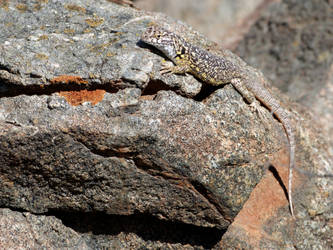 Lizard on a sunny desert day.... by ctosorio