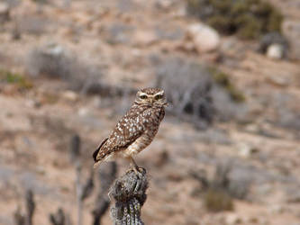Owl on the desert by ctosorio