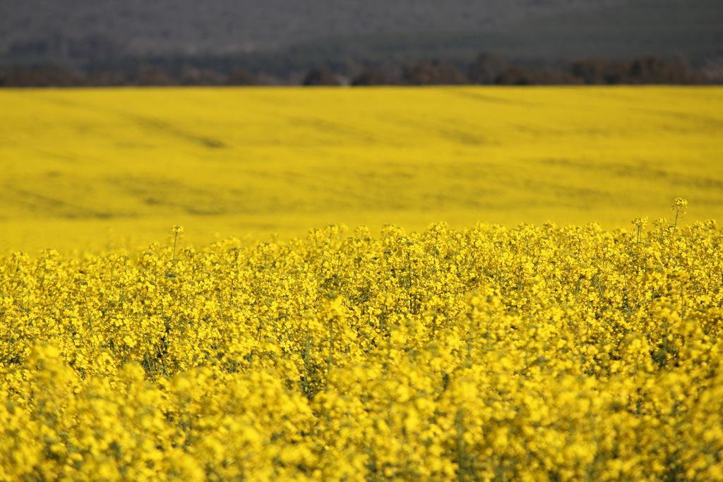 Golden field by apple-symphony