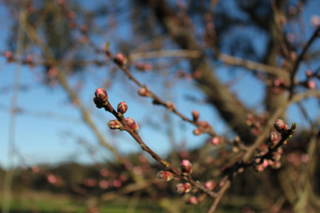 blossom by apple-symphony