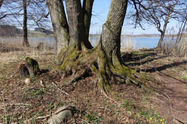 Tree roots by Olgola