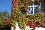 Autumn ivy 01 by Olgola