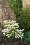 White flowers by Olgola