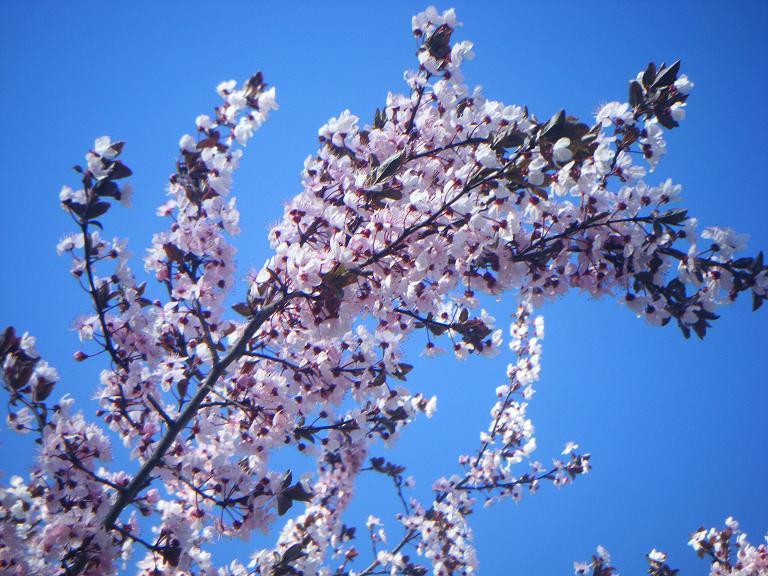 Blossom by hoshidreamer