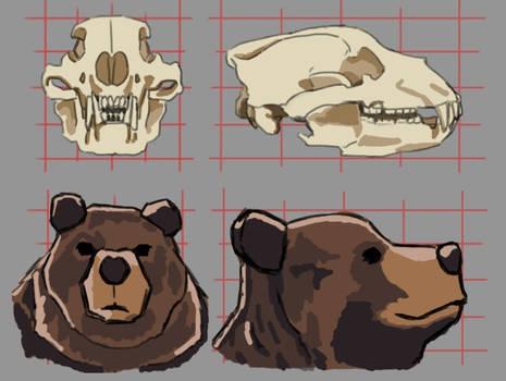 Bear Anatomy Study - Skull to Face