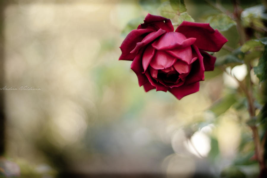 High resolution red rose photo wallpaper