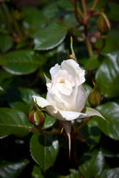 white rose by gzzmos