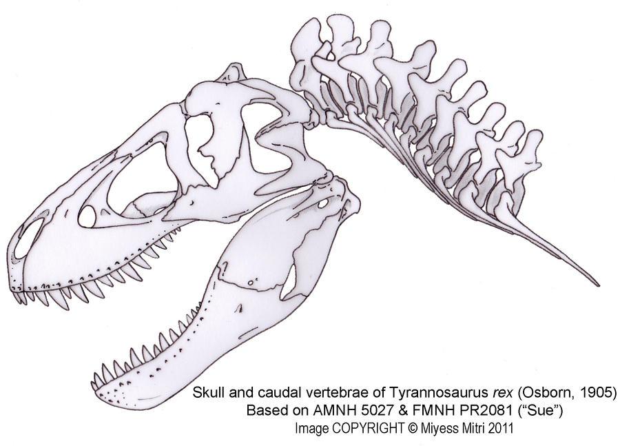 Tyrannosaurusrexskullbymiyess Dlveo