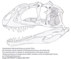 Hypothetical Metriacanthosaurus parkeri Skull by Miyess