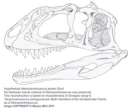 Hypothetical Metriacanthosaurus parkeri Skull