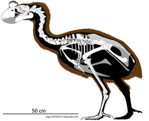 Sylviornis Skeletal Reconstruction