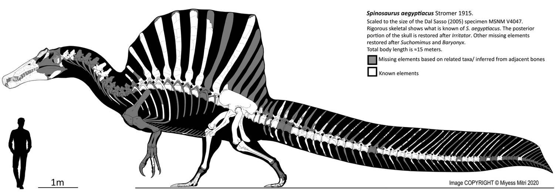 Spinosaurus Skeletal Reconstruction