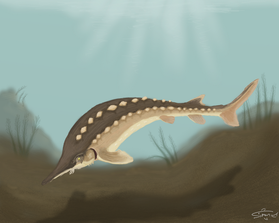 Atlantic sturgeon skeleton