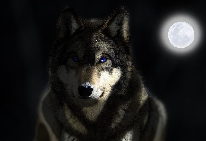 grey wolf wallpaper hd images pictures becuo
