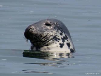 Seal by brittanyfay