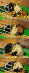 Baby guinea pigs by Padzi